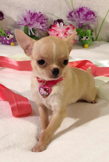 Chihuahua Hembra Micro Mini 700 Grs De Adulta
