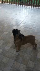 Bulldog Frances Fulvo/blue Gen Macho Com 5 Meses