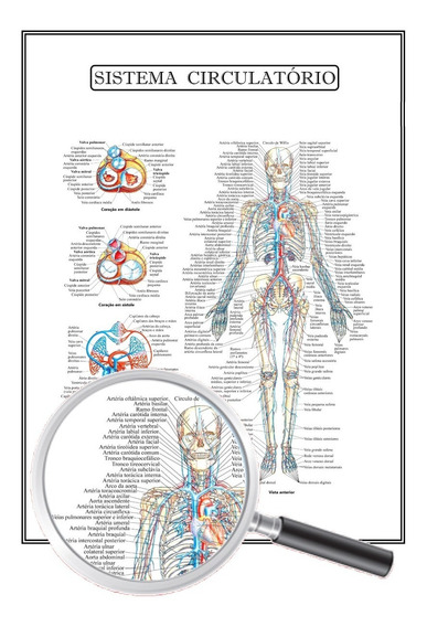 Poster Anatomia Enfermagem Sistema Circulatório 45x60 Cm