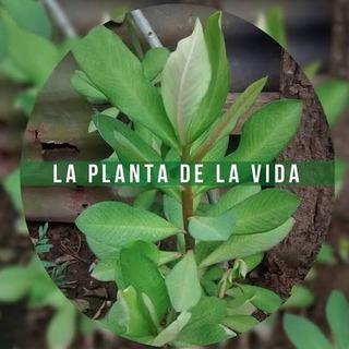Planta De La Vida 100% Garantizado Y Comprobado.