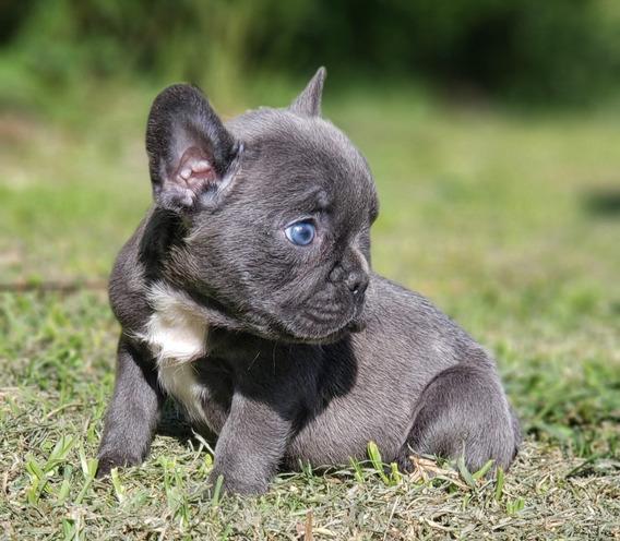 Bull Dog Frances Blue Cachorro Macho