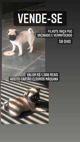 Filhote Macho Pug