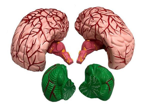 Cérebro Ampliado Em 11 Partes Anatomia Humana