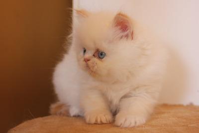 Vendo Gatitos Persa