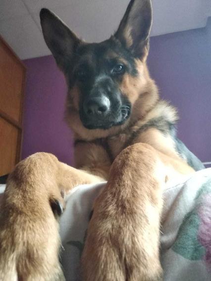 Cachorros De Ovejeros Alemanes Padres Poa