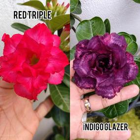 05 Sementes De Rosas Do Deserto Mix De Cruzamentos.