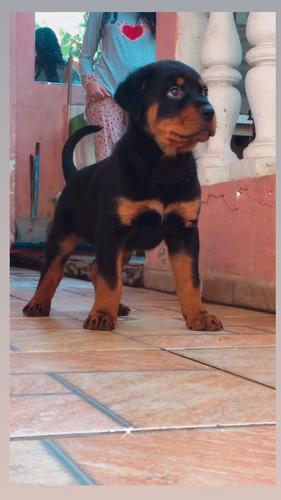 Imagem 1 de 1 de Filhote De Rottweiler Puro