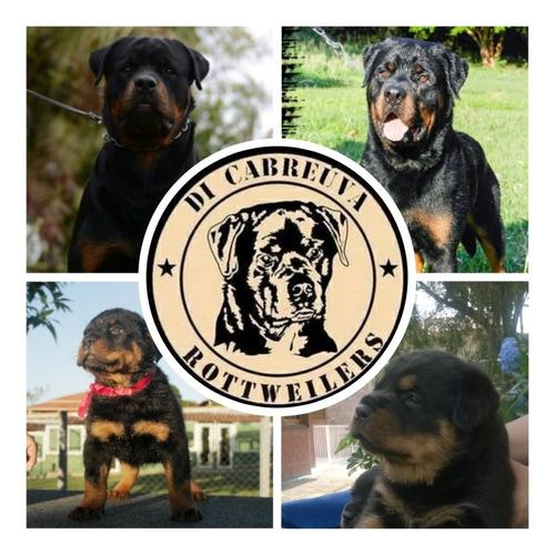 Rottweilers Filhotes Alto Padrão
