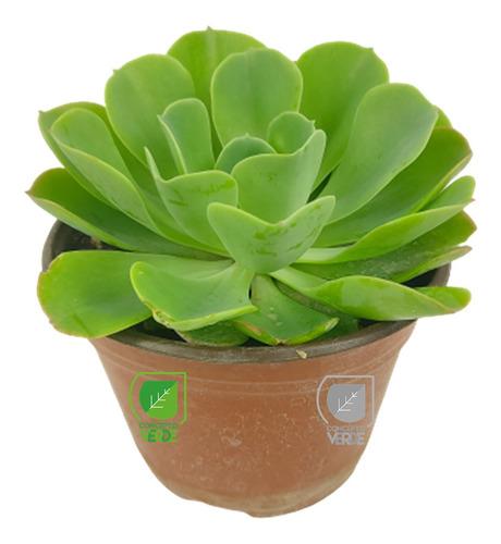 Imagen 1 de 7 de Planta Conchita