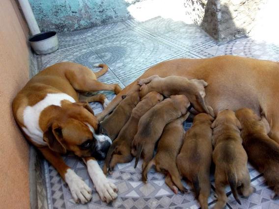 Belíssimos Filhotes De Boxer