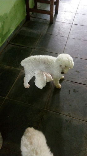 Filhotes De Poodle Garantia De Raça De Saude Pais No Local