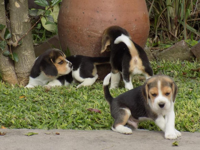 Beagle. Cachorros Disponibles