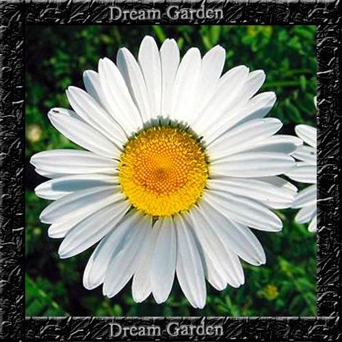 Imagem 1 de 7 de Margarida Gigante Branca - Sementes Flor Pra Mudas