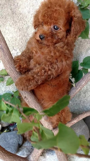 Preciosos Frech Poodle Mini Toy Miniaruras 18cm Adulto Enano
