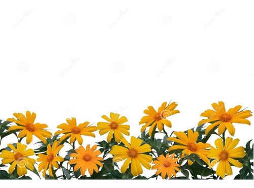 Imagem 1 de 7 de Girassol Mexicano - De Árvore - Margaridão - Flor  Sementes