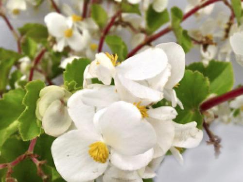 (2x) Plantas Begonias Flor Blanca O Rosada Mas De 20 Cm