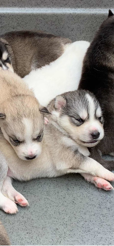 Lindos Filhotes De Husky Siberian