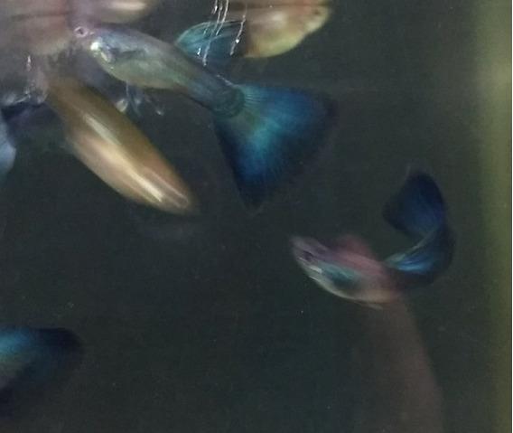Guppy Moscow Blue 80,00 Trio Jovens