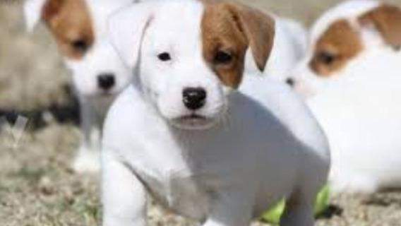 Jack Russell Cachorros Lamejor Reputación 12cuotas S/interes