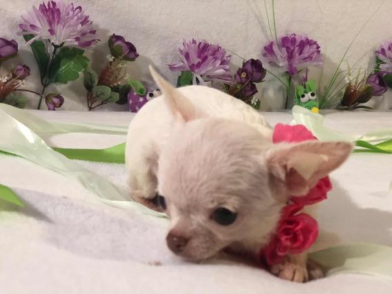 Chihuahua Hembra Blanca Micromini Menos De Un Kilo De Adulta