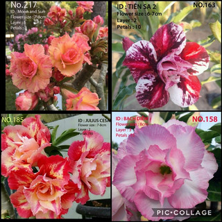 40 Semillas Rosa Del Desierto Exotic