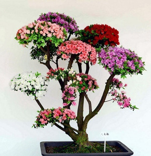 20 Sementes Azaléia Bonsai Raras Japones Jardins