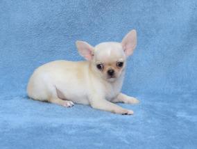 Chihuahua Macho Micrinho Lindo Filhote Chiuaua Com Pedigree
