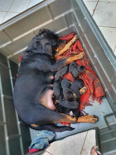 Imagem 1 de 6 de Cachorro Rottweiler