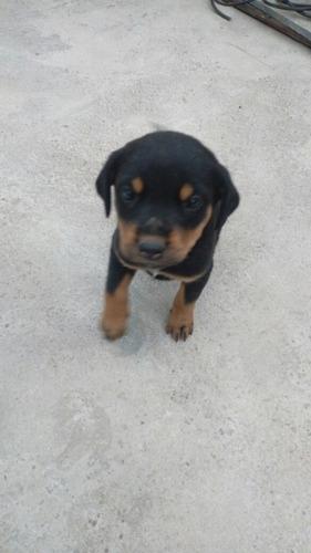 Imagen 1 de 4 de Cachorras Rottweiler Excelente Genética