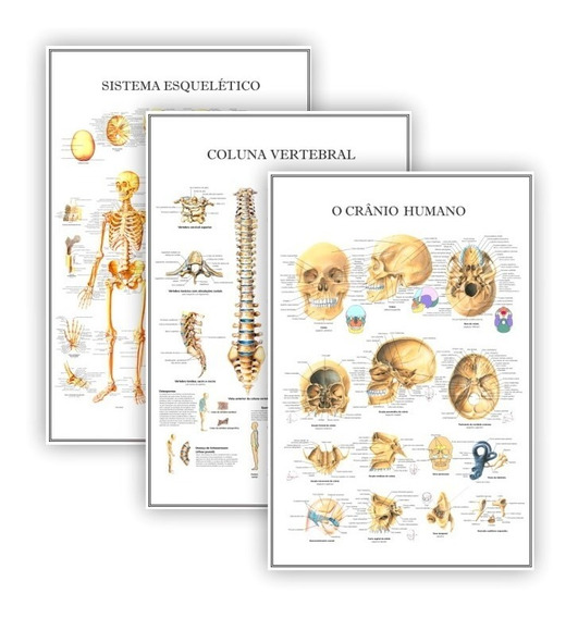 3 Posteres Anatomia Esqueleto, Coluna E Crânio 40x60 Cm