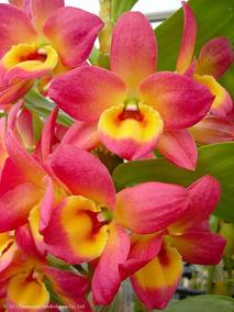 Orquidea Dendrobium Adulta