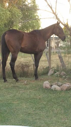 Imagen 1 de 7 de Vendo O Permuto Cavallo Pura Sangre Origen Brasilero 4 Años