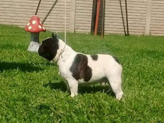 Bull Dog Frances En Servicio De Stud