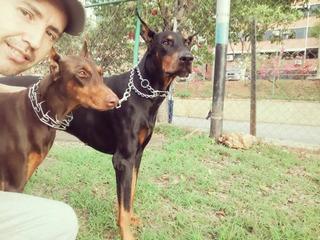 Doberman Pura Raza. Reserve Su Cachorro