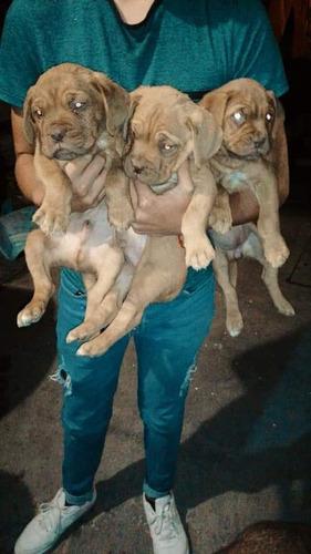 Cachorros Dogos De Burdeo