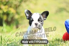 Macho Bulldog Francês