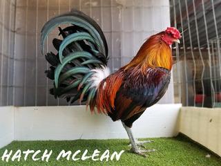 Gallos Sementales Hatch Mclean Limpios Para Cría