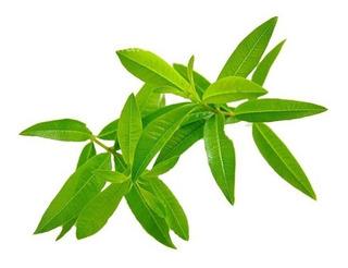 Hojas De Cedron 1 Kg Hierbas Medicinales / Cocina Beneficios