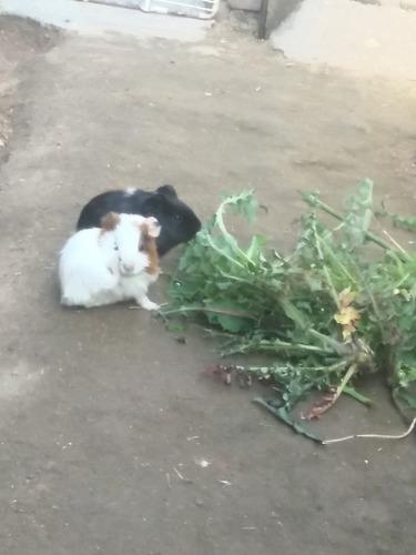 Imagen 1 de 4 de Cobaya, Cui, CuicesIdeal Para Mascota
