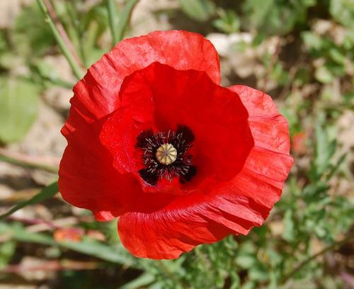 Papoula Das Searas Vermelha  Papaver Rhoeas Flor 20 Sementes