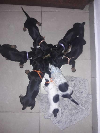 Cachorro Salchichas Puros
