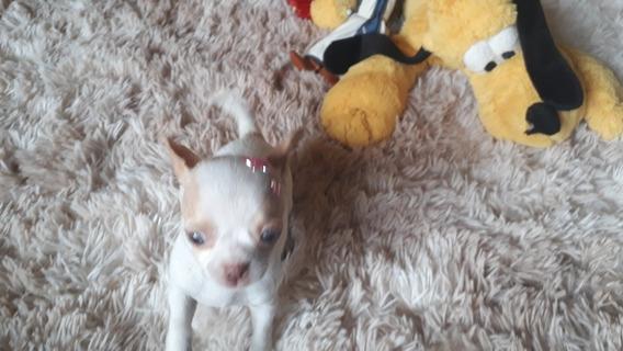 Chihuahua Fêmea Micro De Bolso Um Luxo