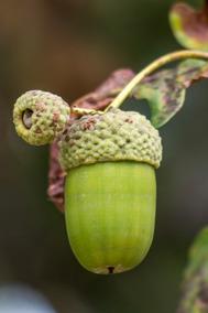 Sementes De Carvalho Europeu Quercus Robur L 12 Unidades