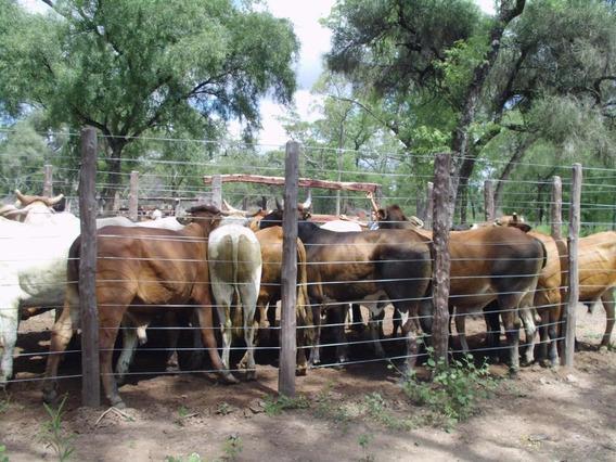 Campo De 520 Has. Ganadero Con Mejoras. Miraflores, Jj Castelli . Chaco.