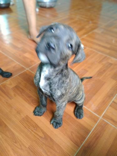 Perros Pitbull Fucion Con Bacunas Y Carnt Para Completar