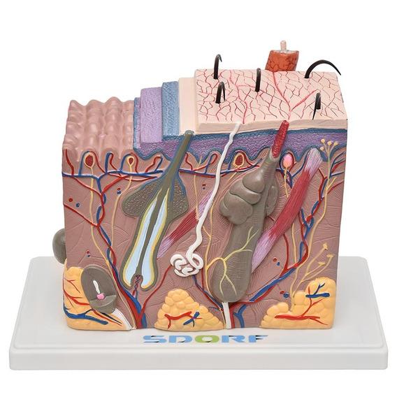 Corte De Pele Ampliada Em Bloco Anatomia Medicina Promoção