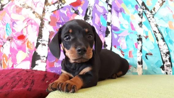 Cachorros Salchicha Miniatura