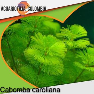Cabomba Acuatica Planta Natural Acuario
