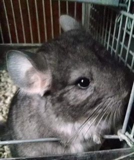 Chinchillas Para Mascota Bbs Dispo Exckusiv Mar Del Plata...