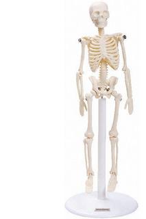 Esqueleto Humano Com 20 Cm De Altura, Anatomia Humana
